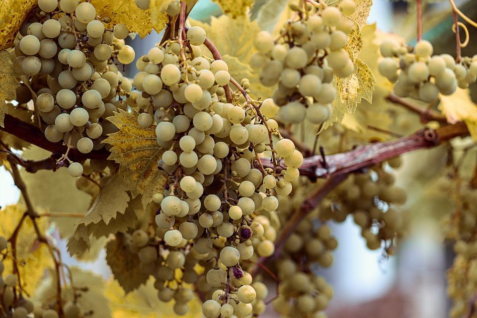 grapes-4421752_960_720